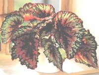 Royal Begonia