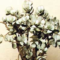 Fat tree - crassula arborescens