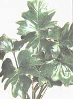 Philodendron double-pinnate cut - Philodendron bipennifolium