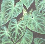 Philodendron warty - Philodendron verrucosum