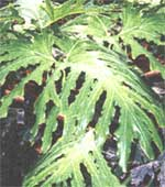 Philodendron Sello - Philodendron selloum