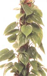 Climbing Philodendron - Philodendron scandens