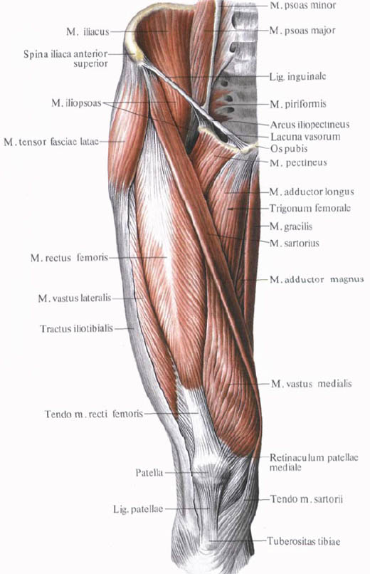 The quadriceps muscle shram.kiev.ua